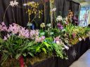 Orchid display table, Pacific Orchid and Garden Exposition 2017, Hall of Flowers, Golden Gate Park, San Francisco, California