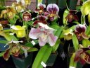 Paphiopedilum hybrid flowers, Lady Slipper orchids, over a dozen Lady Slipper flowers, Pacific Orchid Expo 2018, Golden Gate Park, San Francisco, California