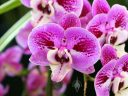 Phalaenopsis hybrid flowers, Moth Orchid, Phal, Pacific Orchid Expo 2015, San Francisco, Calfornia