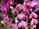 Phalaenopsis hybrids, Moth Orchid flowers, Phals, Pacific Orchid Expo 2018, Golden Gate Park, San Francisco, California