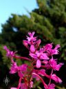 Purple Epidendrum orchid flowers, flowers with juniper and blue sky in background, grown outdoors in Pacifica, California