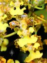 Trichocentrum bicallosum, orchid species flowers, Pacific Orchid Expo 2014, San Francisco, Calfornia