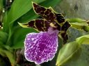 Zygopetalum BG White 'Stonehurst', orchid hybrid flower, Zygo, grown outdoors in Pacifica, California