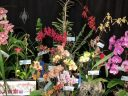 Pacific Orchid Expo 2018 display with over a dozen orchids in bloom, Moth Orchids, Lady Slippers, Cymbidiums, Renanthera, SF County Fair Building, Golden Gate Park, San Francisco, California