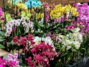 Phalaenopsis, Phal, Moth Orchids, Orchids in the Park 2017, orchid vendor display, Hall of Flowers, Golden Gate Park, San Francisco, California