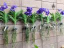 Vanda orchid plants in plastic baskets hanging on a wall, orchid roots and flowers, Pacific Orchid Expo 2018, SF County Fair Building, Golden Gate Park, San Francisco, California