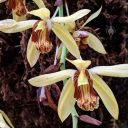 Coelogyne massangeana, orchid species flowers, Conservatory of Flowers, Golden Gate Park, San Francisco, California