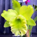 Rhyncholaeliocattleya Sung Ya Green 'Dragon King', yellow-green flower, Pacific Orchid Expo 2015, San Francisco, California