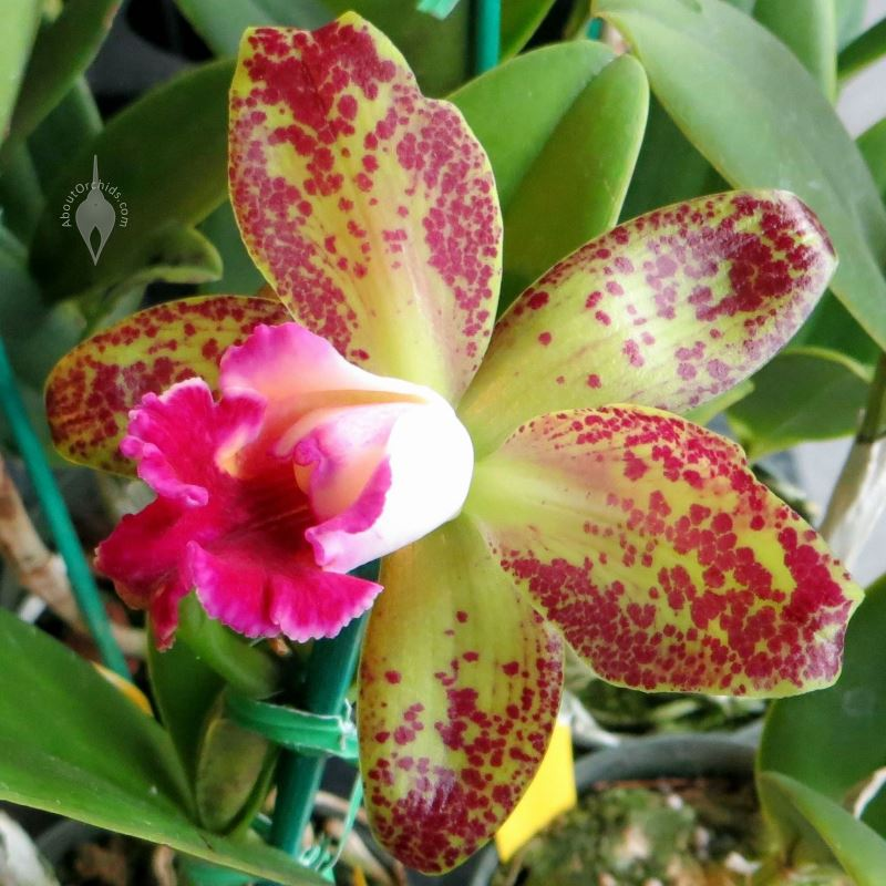 Aboutorchids Blog Archive Mothers Day Orchid Care