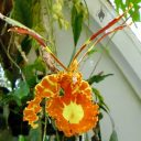 Psychopsis flower, Butterfly Orchid, Conservatory of Flowers, Golden Gate Park, San Francisco, California