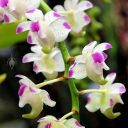 Aerides odorata, orchid species flowers, Orchids in the Park 2018, Hall of Flowers, Golden Gate Park, San Francisco, California