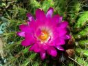 Cactus with bright pink flower, Ruth Bancroft Garden, Walnut Creek, California