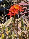 Epidendrum orchid, red and yellow flowers, Ruth Bancroft Garden, Walnut Creek, California