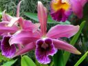 Laelia purpurata, AKA Cattleya purpurata, orchid species flower, Orchids in the Park 2018, Hall of Flowers, Golden Gate Park, San Francisco, California