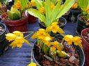 Lycaste aromatica x (candida x campbellii), orchid hybrid flowers, yellow flowers, Orchids in the Park 2018, Hall of Flowers, Golden Gate Park, San Francisco, California