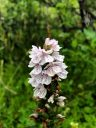 Dactylorhiza maculata, orchid species flowers, Heath Spotted Orchid, Moorland Spotted Orchid, white and purple flowers, terrestrial orchid, Fimmvörðuháls Hiking Trail, Fimmvorduhals Trail, southrn Iceland, July 2018