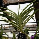 Vanda orchid plant hanging in greenhouse, Vanda leaves, OrchidMania, San Francisco, California