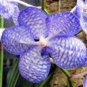Vanda coerulea v. compacta, orchid species flower, blue and white flower, Pacific Orchid Expo 2015, San Francisco, California