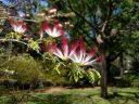 Albizia flowers, Silk Tree, Carlos Thays Botanical Garden, Jardín Botánico Carlos Thays de la Ciudad Autónoma de Buenos Aires, Argentina