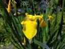 Iris pseudacorus, yellow flower, Carlos Thays Botanical Garden, Jardín Botánico Carlos Thays de la Ciudad Autónoma de Buenos Aires, Argentina