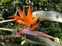 Strelitzia reginae, Bird of Paradise flower, Carlos Thays Botanical Garden, Jardín Botánico Carlos Thays de la Ciudad Autónoma de Buenos Aires, Argentina