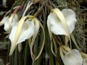 Brassavola acaulis, orchid species flowers, fragrant white flowers, Montreal Botanical Garden, Montreal, Quebec, Canada