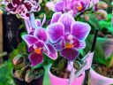 Moth Orchid flowers in gift shop, Phalaenopsis, Phal, Buenos Aires Japanese Gardens, Jardín Japonés de Buenos Aires, Parque Tres de Febrero, Palermo neighborhood, Argentina