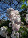 Cherry blossoms, sakura, Buenos Aires Japanese Gardens, Jardín Japonés de Buenos Aires, Parque Tres de Febrero, Palermo neighborhood, Argentina
