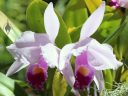 Cattleya orchid flowers, Foster Botanical Garden, Honolulu, Oahu, Hawaii