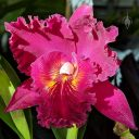 Brassolaeliocattleya Chia Lin 'Shinsu #1' AM/JOGA, Cattleya orchid hybrid flower, corsage orchid, frilled flower lip, Filoli Orchid Show, Filoli Historic House and Garden, Woodside, California