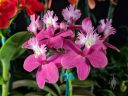 Epidendrum flowers, pink and white orchid flowers, reed-stem Epidendrum,Pacific Orchid Expo 2019, Hall of Flowers, Golden Gate Park, San Francisco, California