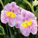 Miltoniopsis orchid hybrid flowers, Pansy Orchids, Pacific Orchid Expo 2014, San Francisco, California