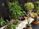 Neofinetia falcata and Dendrobium orchids, Vanda falcata, Samurai Orchids, orchid species flowers, Japanese orchids, Pacific Orchid Expo 2019, Hall of Flowers, Golden Gate Park, San Francisco, California