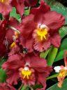 Odontioda Petit Port x Wilsonara Geneva Red, orchid hybrid flowers, Pacific Orchid Expo 2018, San Francisco, California