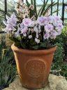 Moth Orchids, peloric Phalaenopsis hybrids, Phals in Kew flowerpot, Princess of Wales Conservatory, RBG Kew, Kew Gardens, London, UK