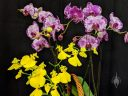 Purple and white Phalaenopsis flowers and yellow Oncidium flowers, Moth Orchids, Phals, Dancing Lady Orchids, Pacific Orchid Expo 2019, Hall of Flowers, Golden Gate Park, San Francisco, California