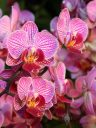 Moth Orchid hybrid flowers, Phalaenopsis, Phal, Pacific Orchid Expo 2014, San Francisco, California