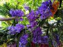Vanda orchid display, blue Vanda flowers, Princess of Wales Conservatory, RBG Kew, Kew Gardens, London, UK