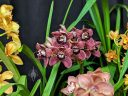 Cymbidium flowers and leaves, Pacific Orchid Expo 2019, Hall of Flowers, Golden Gate Park, San Francisco, California