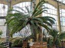 Eastern Cape Giant Cycad, Encephalartos altensteinii, large potted plant inside glasshouse, Amsterdam Botanical Garden, Hortus Botanicus, Amsterdam, Netherlands