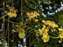 Oncidium orchid flowers, Dancing Lady Orchid, Amsterdam Botanical Garden, Hortus Botanicus, Amsterdam, Netherlands