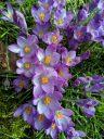 Crocus flowers, Amsterdam Botanical Garden, Hortus Botanicus, Amsterdam, Netherlands