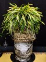 Vanda falcata, Neofinetia falcata, Samurai Orchid, variegated leaves, planted in moss and traditional Japanese flowerpot, Pacific Orchid Expo 2019, Hall of Flowers, Golden Gate Park, San Francisco, California