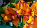 Cattleya hybrid orchid, red and orange flowers, Pacific Orchid Expo 2019, San Francisco, California