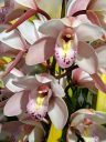Cymbidium flowers, orchid hybrid flowers, growing outdoors in Pacifica, California