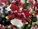Dancing Lady Orchid, Oncidium AKA Baby 'Raspberry Chocolate', orchid hybrid flower, Pacific Orchid Expo 2019, San Francisco, California