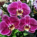 Phalaenopsis, Phal, Moth Orchid hybrid flowers, pink purple yellow and white flowers, Orchids in the Park 2018, County Fair Building, Golden Gate Park, San Francisco, California
