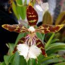 Odontoglossum nevadense, AKA Oncidium nevadense, Odont, orchid species flower, Pacific Orchid Expo 2018, San Francisco, California