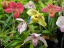 Lady Slipper orchids, Paphiopedilum and phragmipedium flowers, paph and phrag, Orchids in the Park 2019, Hall of Flowers, Golden Gate Park, San Francisco, California