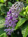Purple flowers, Singapore Botanic Gardens, UNESCO World Heritage Site